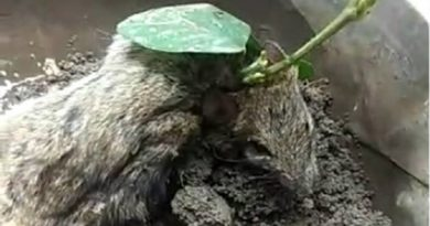 क्या हुआ जब जिंदा चूहे के ऊपर निकला सोयाबीन का पौधा